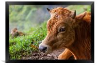 young calf lying down, Framed Print