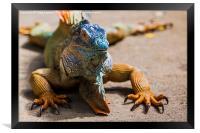 large green iguana, Framed Print
