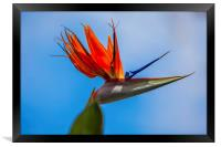 bird of paradise flower, Framed Print