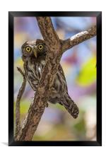 costa rican pygmy owl, Framed Print