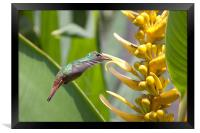 Rufus Hummingbird feeding, Framed Print