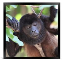 Congo monkey resting in tree, Framed Print