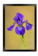 Single Iris flower, Framed Print