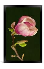 Magnolia, Framed Print