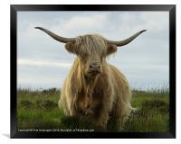 Highland cow, Exmoor, Framed Print