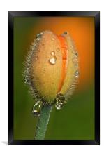 Poppy drops, Framed Print