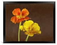 Nasturtiums, Framed Print