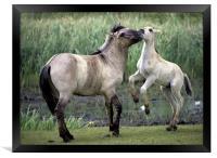 Mother And Foal. Polish Konik Horses, Framed Print
