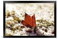 Last Autumn Leaf Standing in First Snow of Winter , Framed Print