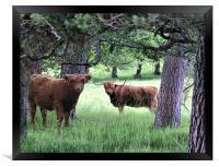 Scottish Hairy Highland Cooooos, Framed Print