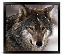 Wolf, Framed Print