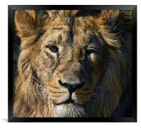 Lion, Framed Print