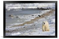 Polar bear in the ice , Framed Print