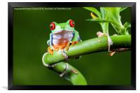 Red Eyed Tree Frog, Framed Print