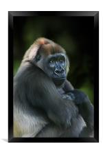 Nyango Cross River Gorilla, Framed Print