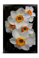 Narcissus Tazetta, Framed Print
