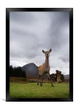 Deer at Glencoe, Framed Print