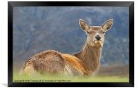 Deer at Glencoe, Framed Print