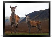 Deer in the Highlands, Framed Print