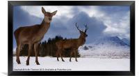 Highland Deer, Framed Print