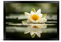 Water Lily, Framed Print