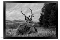 Highland Deer Sitting, Framed Print