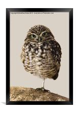 Little Owl (Athene Noctua), Framed Print