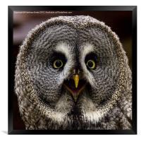 Great Grey Owl, Framed Print