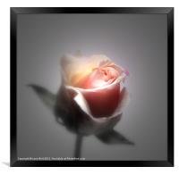 Single Rose, Framed Print