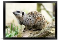 Meerkat Moments, Framed Print