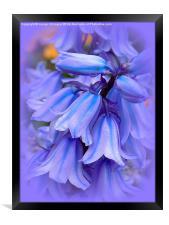 Bluebells from the Garden, Framed Print
