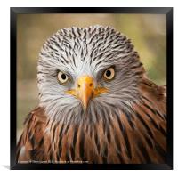 Red Kite (Milvus milvus), Framed Print