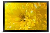 Yellow Dahlia Bloom, Framed Print