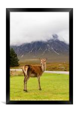 A Deer in Glencoe, Framed Print