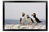 Puffin Meeting, Framed Print