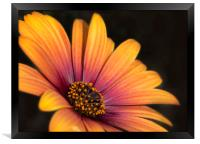 Osteospermum , Framed Print