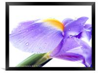 Iris 2, Framed Print