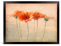 Orange Gerberas, Framed Print