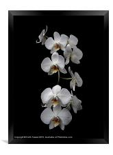 White Dendrobium Orchid Canvas & prints, Framed Print