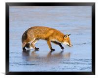 Fox on ice, Framed Print