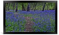 The Bluebells of Kings Wood, Framed Print