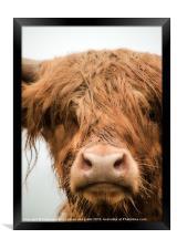 Highland Cow, Bad Hair Day, Framed Print