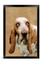 The Basset Hound, Framed Print