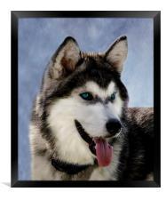 Siberian Husky, Framed Print