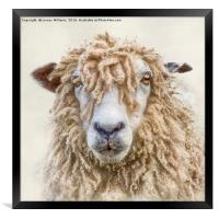 Leicester Longwool Sheep, Framed Print