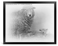 Lamb and Mother , Framed Print