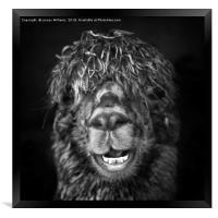 Alpaca. Happy Dayz, Framed Print