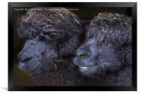 Alpacas , Framed Print