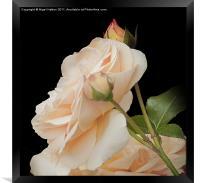 Rose, Framed Print