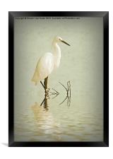 Little Egret, Framed Print